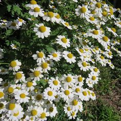Once you have feverfew in the garden, you always have feverfew  #herbalist #apothecary #mygarden