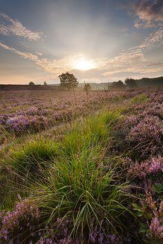 Heathland at sunrise - Maasmechelen, Belgium by Bart Heirweg