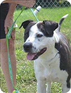 Delaware, OH - American Bulldog Mix. Meet Vance, a dog for adoption. http://www.adoptapet.com/pet/13861799-delaware-ohio-american-bulldog-mix