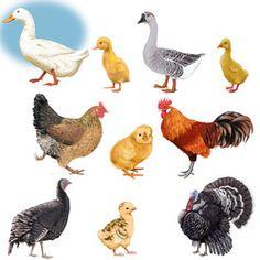 Сельскохозяйственные Животные, Милые Животные, Материалы Монтессори, Рисунки Птиц, Курица В Искусстве, Коллажные Изображения, Ремесла, Животные, Рисунки