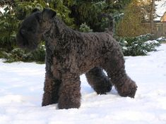 Kerry Blue Terrier  [---]  http://www.dogbreedslist.info/all-dog-breeds/Kerry-Blue-Terrier.html#.Wt4iuojwZhE [---]   https://www.ckc.ca/en/Choosing-a-Dog/Choosing-a-Breed/Terriers/Kerry-Blue-Terrier