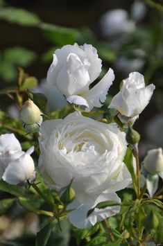 Beautiful Rose Flowers, Love Flowers, White Flowers, Best Freinds, White Springs, Moon Garden, Flower Aesthetic, I Am Awesome, Wallpaper