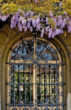 Wysteria Vine Hanging Above Wrought Iron Window in Venice.