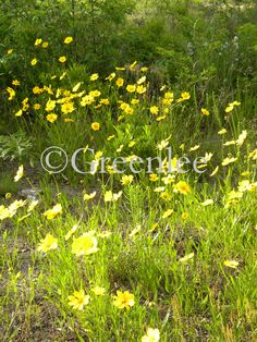 Coreopsis in Spring