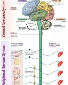 Science biology human Nervous System Function - Health, Medicine and Anatomy central peripheral Nervous System Diagram, Nervous System Anatomy, Human Nervous System, Nervous System Function, Peripheral Nervous System, Central Nervous System, Neurological System, Nursing School Notes, Medical School