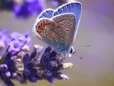 a blue beauty on blue lavender