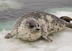 Spotted Seal page for Arctic Ocean Biodiversity, a Census of Marine Life project Animals Of The World, Animals And Pets, Baby Animals, Cute Animals, Seal Pup, Baby Seal, Cute Seals, Harbor Seal, Photo Animaliere