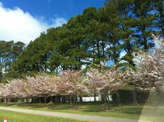 Cherry Blossom Festival, Red Wing Park in Virginia Beach, VA