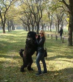 Black Russian Terrier, Black Is Beautiful, Dogs, Animals, Animales, Animaux, Pet Dogs, Doggies, Animal