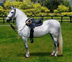 I've been using the term 'classic' for the well-known lateral-gaited Paso Fino because Colombia has been developing diagonal-gaited horses by crossing Paso Finos with Lusitanos and PREs. They are little known outside of Colombia and are bred in three separate gait styles. Not well set in type, they are not yet official breeds; currently considered Paso Fino subtypes. This is a Colombian Trote y Galope Paso Fino stallion.
