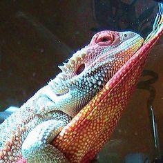 My Shirley, Bearded Dragon, chilling.  www.AnimalBliss.com  @animal_bliss  #beardeddragon