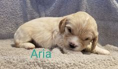 Cavapoo Puppies For Sale, Little Puppies, Dogs, Animals, Animales, Tiny Puppies, Animaux, Small Puppies, Pet Dogs