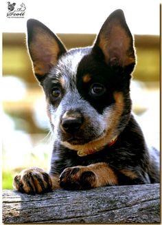 A young Cattle Dog