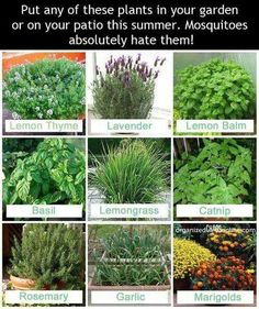 Put any of these plants on the patio or deck this summer and it will keep the mosquitos away.