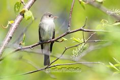 Songbird Photography   Eastern Wood Pewee   Contopus virens   Brown Flycatcher   Forest Bird Photo   Summer Songbird Wall Art   Pewee Print by FeatherWindStudio on Etsy