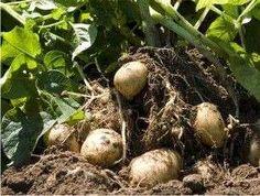 Huerto casero: Qué plantar en casa - Cómo cultivar papas en tu huerto casero