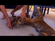Living With Tiger Cubs - Tigers About The House - BBC - YouTube