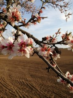 Blossoming almond tree.