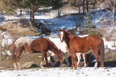 Grazing horses. by gjohnstonphoto. Some horses are grazing on the hay found in their snowy pasture.