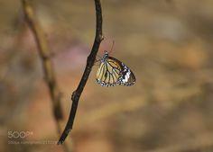 A beautiful Monarch butterfly....!!! - A beautiful Monarch butterfly....!!!