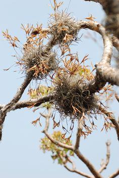 Heno (Tillandsia recurvata)