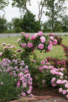 Bourbon Rose 'Honorine de Brabant'