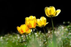 Dream Tulips by  ThyBruns on 500px