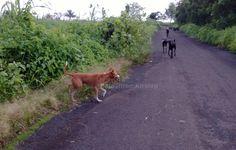 Livestock-guarding dog, in a suburb of Mumbai