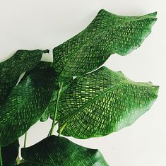 A beautiful evergreen species of Calathea with amazing leaf patterns resembling tiny mosaics. likes to be kept relatively moist and grown in free draining potting mix or soil. Calathea musaica in the houseplant trade. as an ornamental plant, it is noted Mini Plantas, Plantas Indoor, Cactus Plants, Garden Plants, Indoor Plants, Indoor Cactus, Cactus Art, Garden Loppers, Buy Cactus