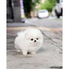 Baby pomerian taking a walk-- Dream Puppy!! LOVE!