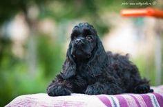 Продам щенка Американский кокер спаниель - Россия, Самара. Цена 10000 рублей