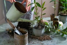 Vavrín pravý – pestovanie, kedy ho strihať. Čerstvý a drvený bobkový list pod vankúš a proti hmyzu | TopByvanie.sk Planter Pots, Gardening, Lawn And Garden, Horticulture