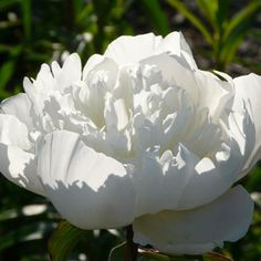 :: Paeonia lactiflora 'Immaculée' - Edel-Pfingstrose :: Gestalten :: Besondere Blütenfarben :: Reines Weiß - Pflanzenversand Gaissmayer