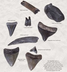 Go digging at The Shark's Tooth Capital of the World: Venice beach Florida.