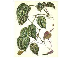 Watercolor print botanical Illustration by BotanicalVintageArt