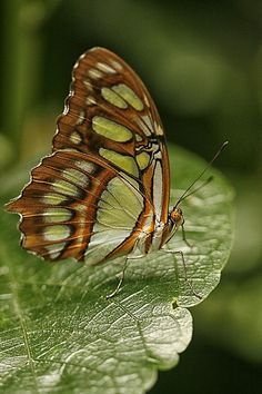 butterflies.quenalbertini: Green and brown butterfly | It's a Colorful Life