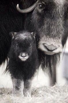 Muskox Cow with Calf. Captive Alaska Wildlife Conservation Center, SC Alaska Spring. °