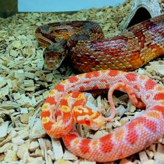 My corn snakes