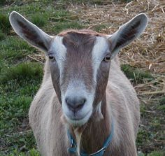 Toggenburg goats are a milk breed that are brown  with white stripes on there face legs and back quarters