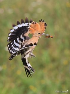 Flying home by Phil Davson The hoopoe is flying back to the nest with a mole cricket for dinner Phil Davson: Photos Rare Birds, Exotic Birds, Colorful Birds, Pretty Birds, Beautiful Birds, Animals Beautiful, Animals And Pets, Baby Animals, Cute Animals