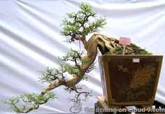 Image from http://www.happybonsai.com/wp-content/uploads/2010/01/penjing-bonsai-exhibition-06.jpg.
