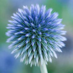 Echinops.... | Flickr - Photo Sharing!