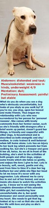 LULU DIED 10/20/17 DUE CANCER --- SAFE 10-7-2017 by  Amsterdog Animal Rescue --- Manhattan center LULU – 8964  Location: Manhattan  Intake Date: 10/5/17  Intake Type: Owner Surrender  Medical Behavior: Blue  Sex: Female  Age: 6 years  [LVT Intake Exam]Microchip Scan: negative  http://nycdogs.urgentpodr.org/lulu-8964/