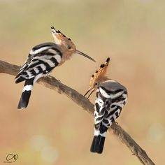 The Hoopoe /ˈhuːpuː/ (Upupa epops) is a colourful bird that is found across…