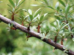 シーベリーのオスの樹なんだよ♪花の跡が落ち着いてきたんだよ♪ #札幌 2012年6月9日撮影