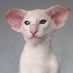 Cute Cats And Kittens, I Love Cats, Crazy Cats, Cool Cats, Pretty Cats, Beautiful Cats, Animals Beautiful, Dobby Cat, Sphynx