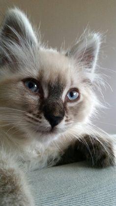 Noorse Boskat X Ragdoll / Norwegian Forest cat X Ragdoll.