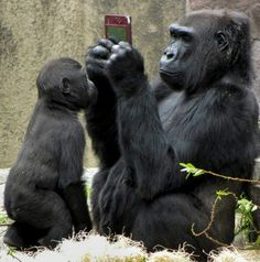 'Say 'Cheese' & Smile for the Camera' - Mother Gorilla taking a photo of…