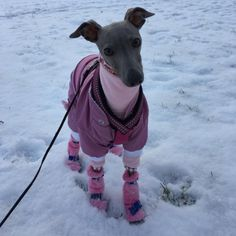 And these, well, these are the equivalent of over-the-knee boots. Except tiny! | 19 Tiny Dogs Wearing Even Tinier Shoes
