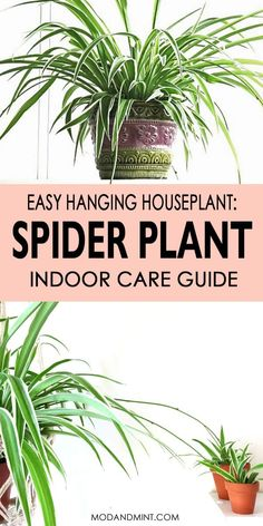 The spider plant is a favorite indoor hanging plant in many homes. Easy to care for it can handle a bit of low light and looks great with spider plant babies cascading down. Find out all you need to know how to best care for your spider plant. Indoor Gardening Supplies, Container Gardening, Gardening Tips, Hanging Plants, Indoor Plants, Pot Plants, Live Plants, Spider Plant Babies, Chlorophytum